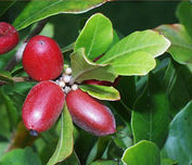 Miracle Fruit Berries